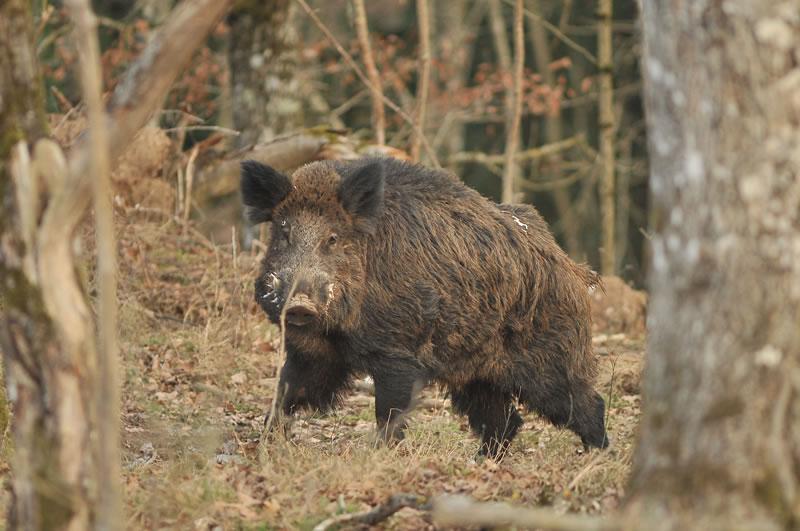 Нови случаи на африканска чума по дивите свине в Елхово