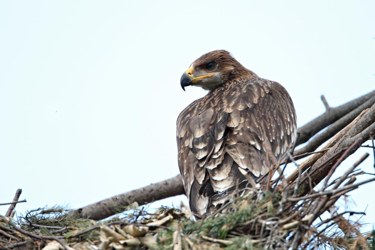 Царски орел открит с 16 сачми в тялото близо до Ямбол